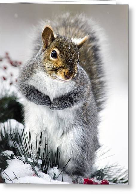 Close Up Framed Prints Greeting Cards - Squirrel in Snow Greeting Card by Christina Rollo