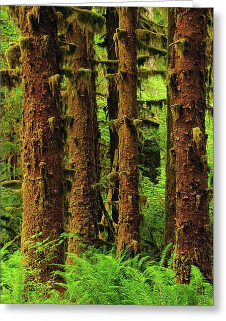 Sitka Spruce And Sword Ferns, Hoh Rain Greeting Card by Michel Hersen