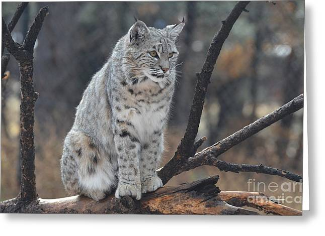 Bobcats Greeting Cards - Sitting Bobcat Greeting Card by DejaVu Designs