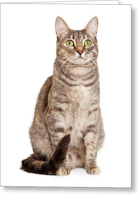 Neutral Background Greeting Cards - Sitting gray tabby cat Greeting Card by Susan  Schmitz