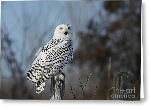 Shelley Myke Greeting Cards - Sitting on the Fence- Snowy Owl Perched Greeting Card by Inspired Nature Photography By Shelley Myke