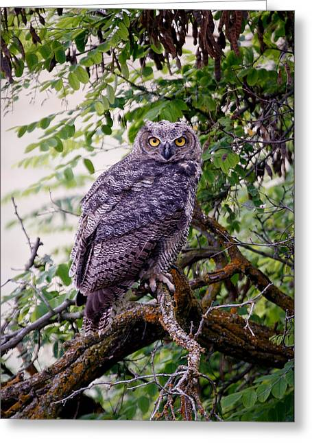 Barn Pen And Ink Greeting Cards - Sitting Owl Greeting Card by Athena Mckinzie