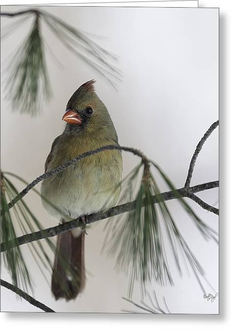 Female Northern Cardinal Greeting Cards - Sitting Pretty Greeting Card by Everet Regal
