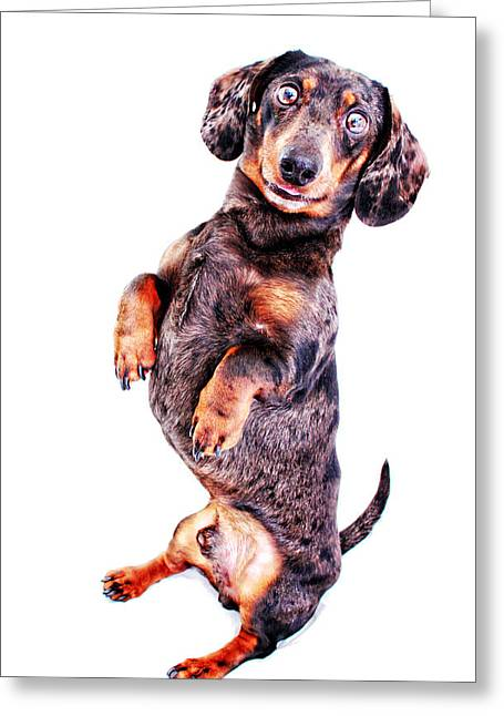 Hounddog Greeting Cards - Sitting Pretty Greeting Card by Johnny Ortez-Tibbels
