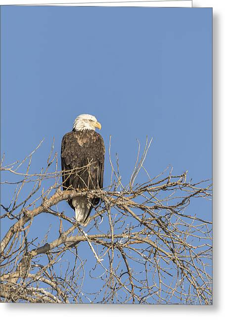 American Food Greeting Cards - Sitting Pretty Greeting Card by Thomas Young
