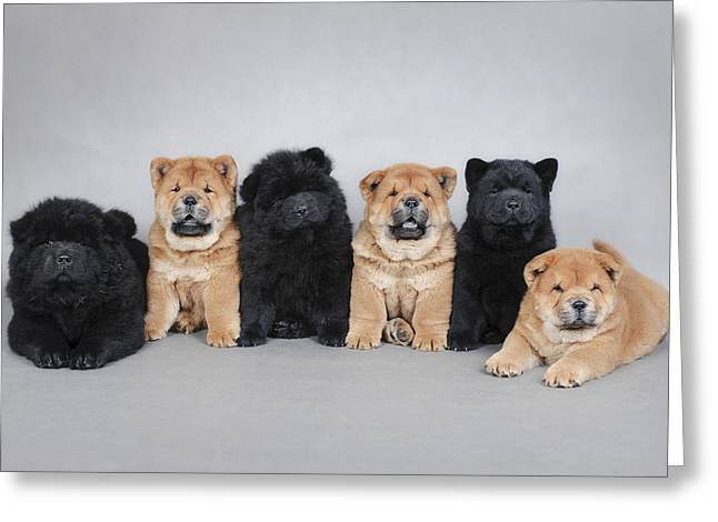 Newfoundland Puppy Greeting Cards - Six little Chow chow  puppies portrait Greeting Card by Waldek Dabrowski