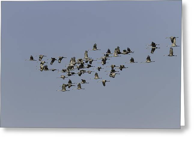 Crane Migration Greeting Cards - Sixty Five Cranes In Flight  Greeting Card by Thomas Young