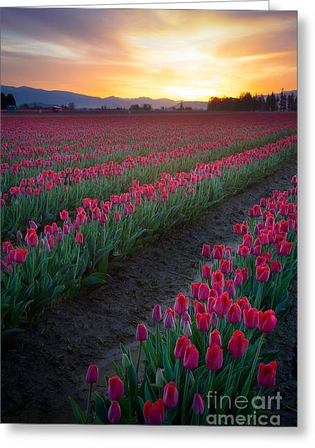 Tulipa Greeting Cards - Skagit Valley Blazing Sunrise Greeting Card by Inge Johnsson