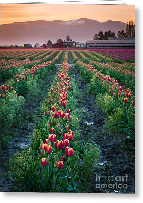 Spring Bulbs Greeting Cards - Skagit Valley Magic Greeting Card by Inge Johnsson