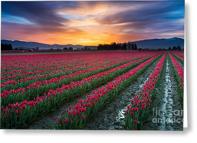 Spring Bulbs Greeting Cards - Skagit Valley Predawn Greeting Card by Inge Johnsson