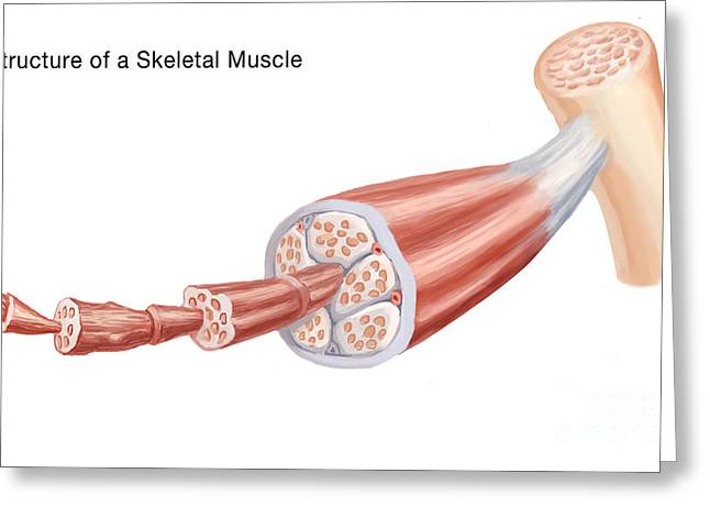 Skeletal Muscle Greeting Cards - Skeletal Muscle Structure, Illustration Greeting Card by Spencer Sutton