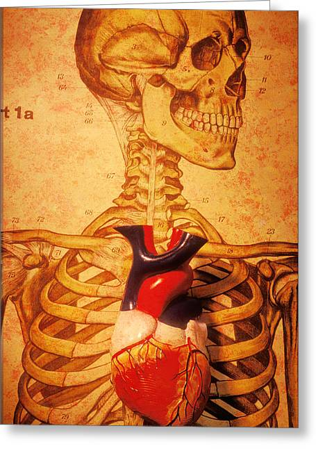 Aorta Greeting Cards - Skeleton and heart model Greeting Card by Garry Gay