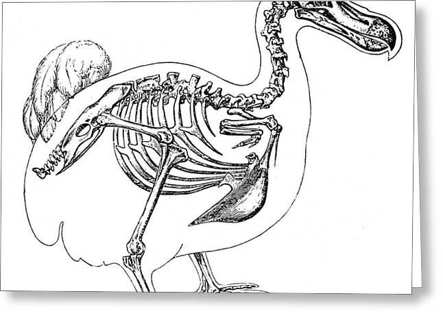 Dodo Greeting Cards - Skeleton And Outline Of Dodo Bird Greeting Card by Science Source