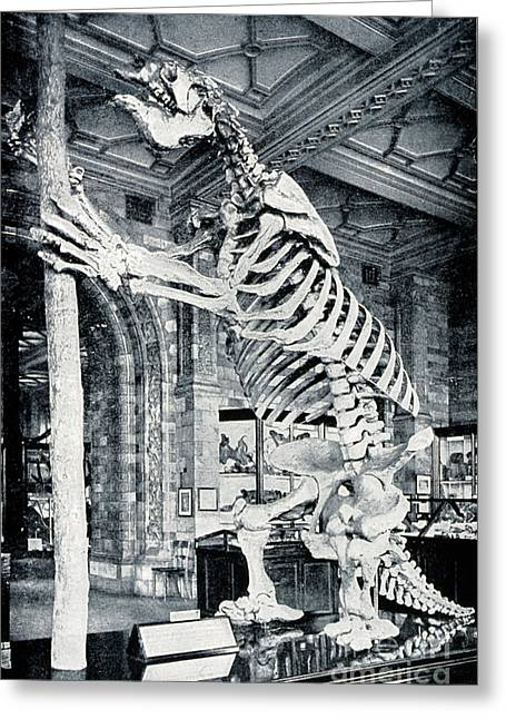 Sloth Greeting Cards - Skeleton Of South American Ground Sloth Greeting Card by Wellcome Images