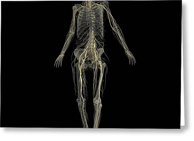 Lumbar Plexus Greeting Cards - Skeleton With Nervous System Greeting Card by Medical Images, Universal Images Group