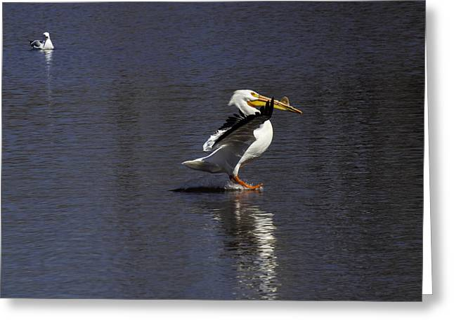 Pelican Landing Greeting Cards - Skidding Across The Water Greeting Card by Thomas Young
