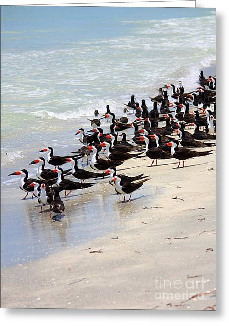 Sea Birds Greeting Cards - Skimmers on the Beach Greeting Card by Carol Groenen