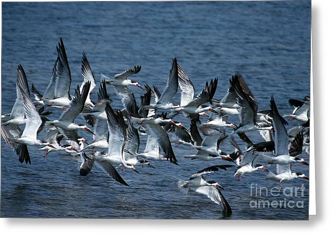 Photos Of Birds Greeting Cards - Skimmers Greeting Card by Skip Willits