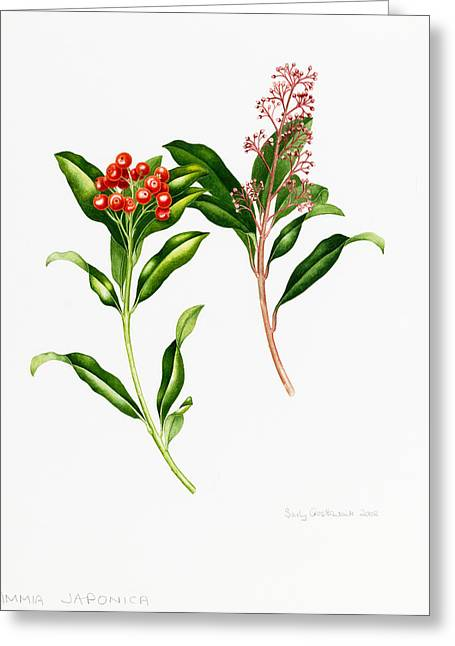 Flower Still Life Prints Greeting Cards - Skimmia Japonica Rutaceae Greeting Card by Sally Crosthwaite
