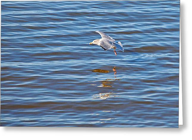 Flying Seagull Greeting Cards - Skimming The Waves Greeting Card by Gill Billington