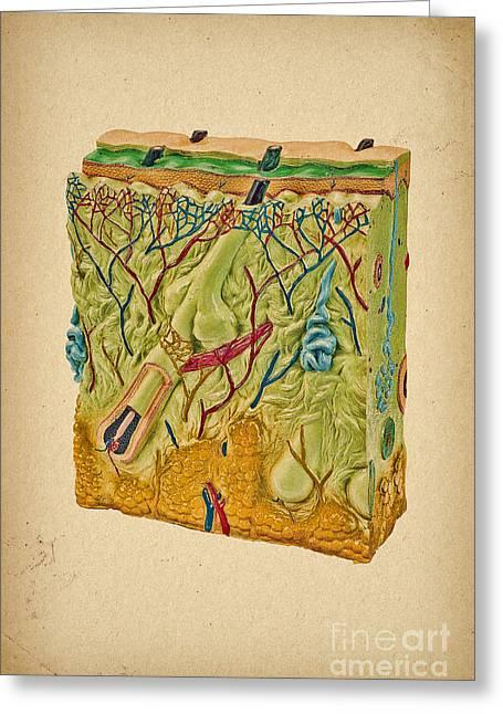 Skin Anatomy  Greeting Card by Olga Hamilton