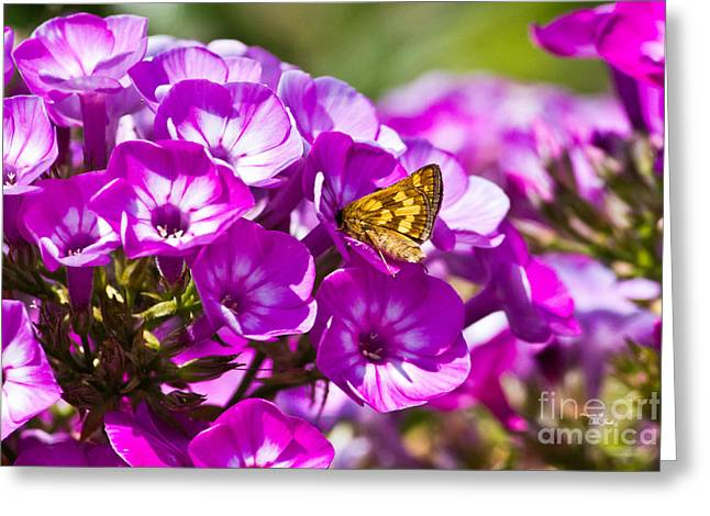 Butterfly On Lavender Greeting Cards - Skipper Butterfly on Flower Greeting Card by Ms Judi