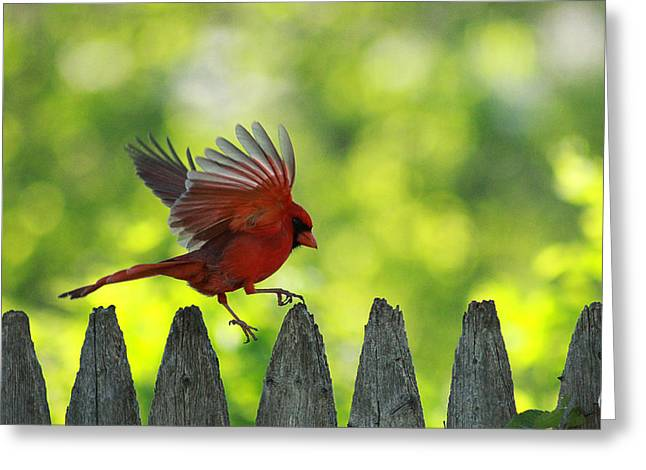 Cardinals. Wildlife. Nature. Photography Greeting Cards - Skipping Pickets 1 Greeting Card by Jackie Novak