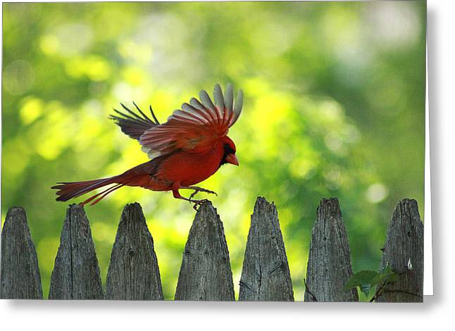 Cardinals. Wildlife. Nature. Photography Greeting Cards - Skipping Pickets 2 Greeting Card by Jackie Novak