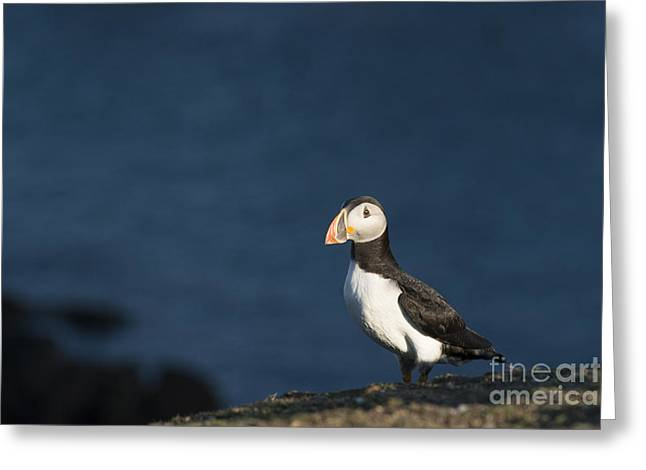 Seabirds Greeting Cards - Skokholm Puffin Greeting Card by Anne Gilbert