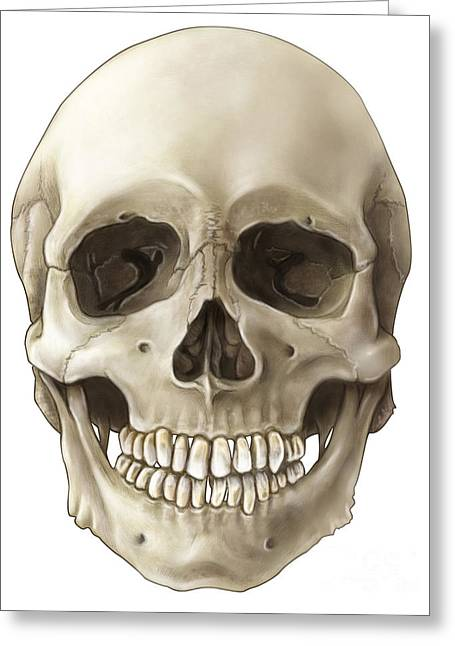 Ethmoid Bone Greeting Cards - Skull Anterior View Greeting Card by Evan Oto