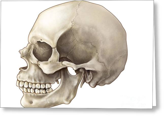 Ethmoid Bone Greeting Cards - Skull Lateral View Greeting Card by Evan Oto