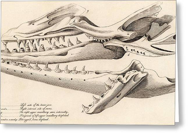 Skull Of Mososaurus Greeting Card by Universal History Archive/uig