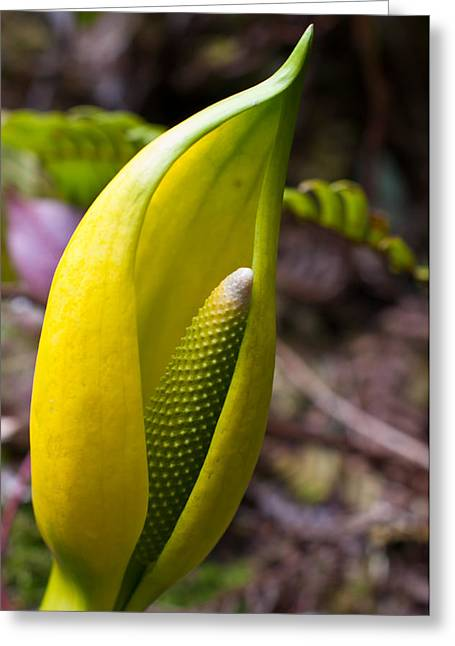 Smelly Greeting Cards - Skunk Cabbage in Spring - Willowbrae Trail Greeting Card by James Wheeler