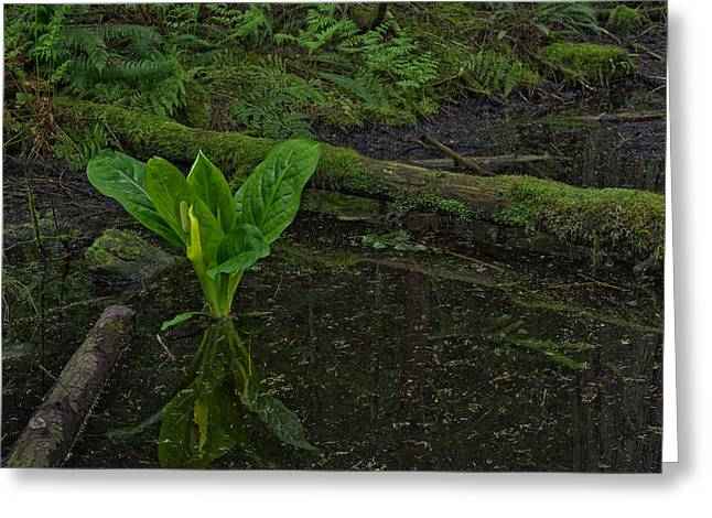 North Vancouver Photographs Greeting Cards - Skunk Weed Cabbage in the Pond Greeting Card by Paul W Sharpe Aka Wizard of Wonders