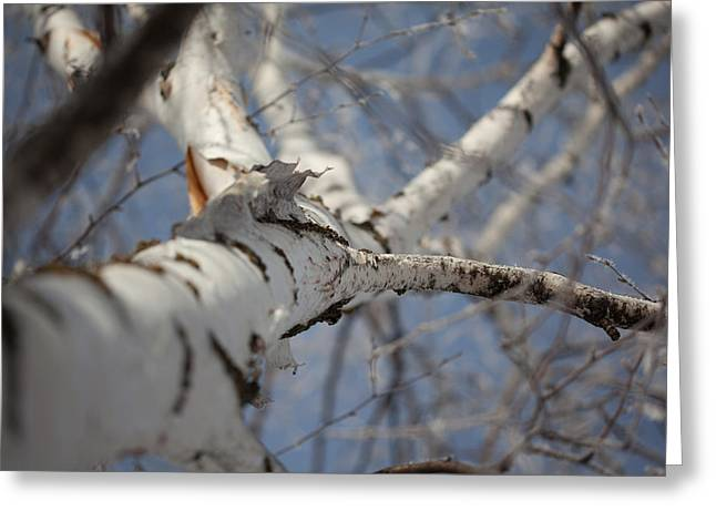 Birch Tree Greeting Cards - Skyward Greeting Card by Aaron Aldrich