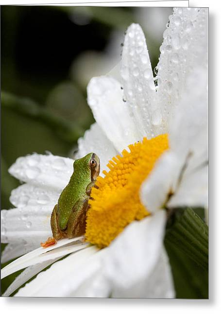 Pacific Tree Frog Greeting Cards - Skyward Greeting Card by Marvin Mast