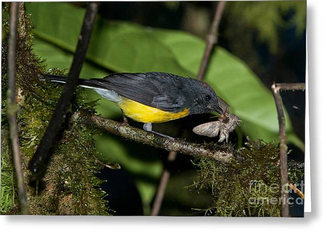 American Redstart Greeting Cards - Slate-throated Redstart Greeting Card by Anthony Mercieca