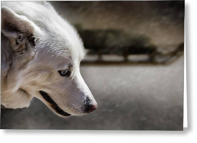 Huskies Photographs Greeting Cards - Sled Dog Greeting Card by Bob Orsillo