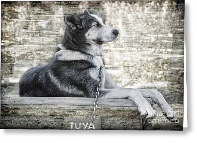Working Dog Greeting Cards - TUYA - Sled Dog of Denali Greeting Card by Dyle   Warren