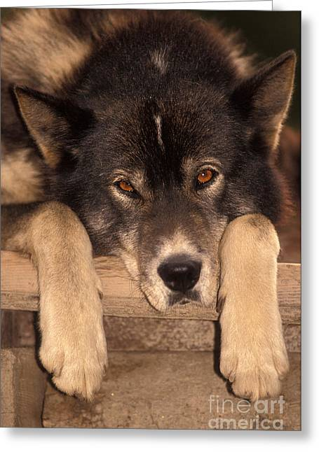 Sled Patrol Greeting Cards - Sled Dog Greeting Card by Ron Sanford