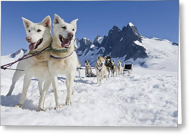 Juneau Park Greeting Cards - Sled Dog Team Standing On The Juneau Greeting Card by John Hyde