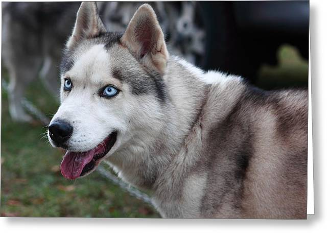 Husky Greeting Cards - Sled Dogs Greeting Card by Paul Slebodnick