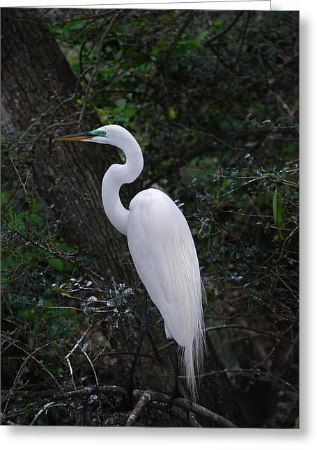 Photos Of Birds Greeting Cards - Sleek And Dressed To Please Greeting Card by Skip Willits