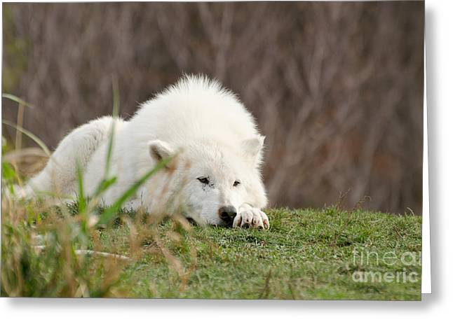 Hairy Wolf Greeting Cards - Sleeping Arctic Wof Greeting Card by Les Palenik