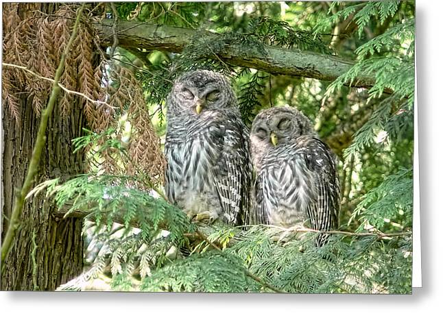 Cedar Tree Greeting Cards - Sleeping Barred Owlets Greeting Card by Jennie Marie Schell