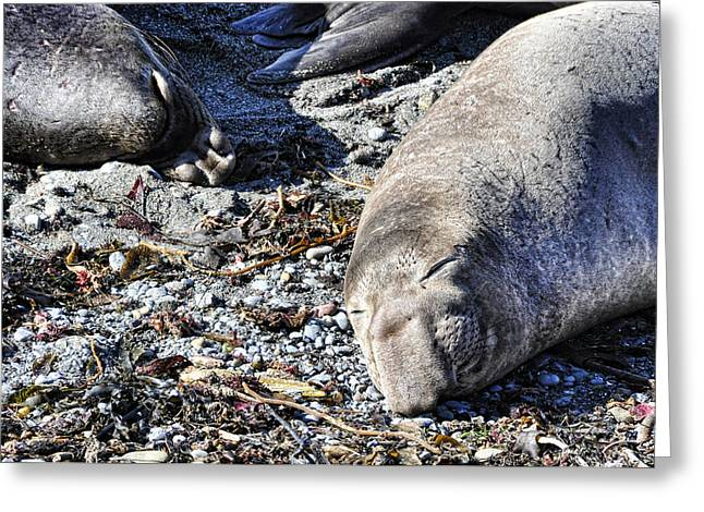 Elephant Seals Greeting Cards - Sleeping Beauty Greeting Card by Dorothy Gram