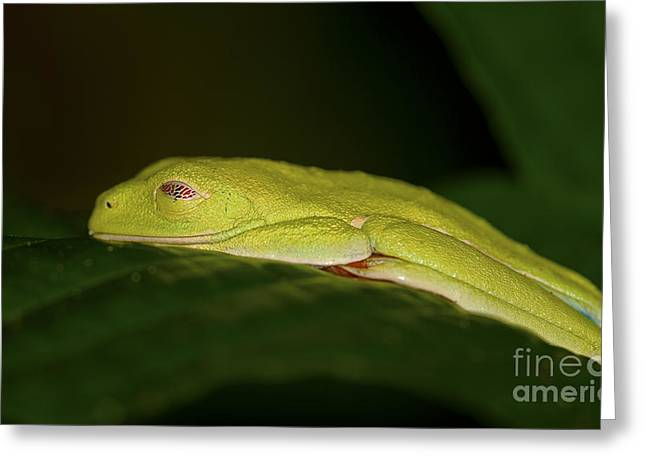 Leaf Frog Greeting Cards - Sleeping Beauty... Greeting Card by Nina Stavlund