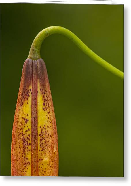 Sleeping Beauty - Turks Cap Lily Greeting Card by Photography  By Sai