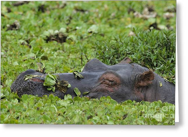 Lettuce Greeting Cards - Sleeping Hippo Greeting Card by John Shaw