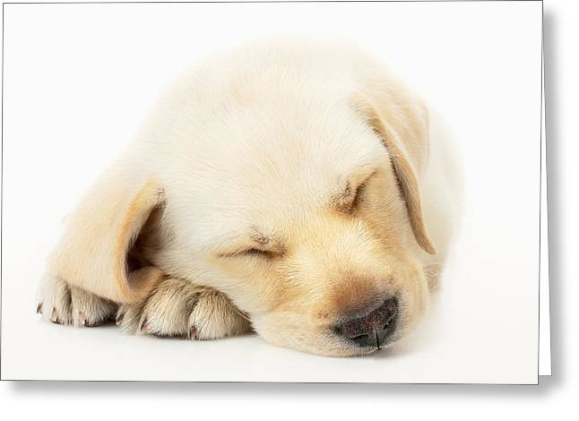 Cuddly Photographs Greeting Cards - Sleeping Labrador Puppy Greeting Card by Johan Swanepoel